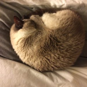 Siamese cat curled up on itself, head tucked under paw, in a neat circle.