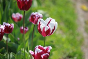 Focus on red and white tulip in center, grass in background