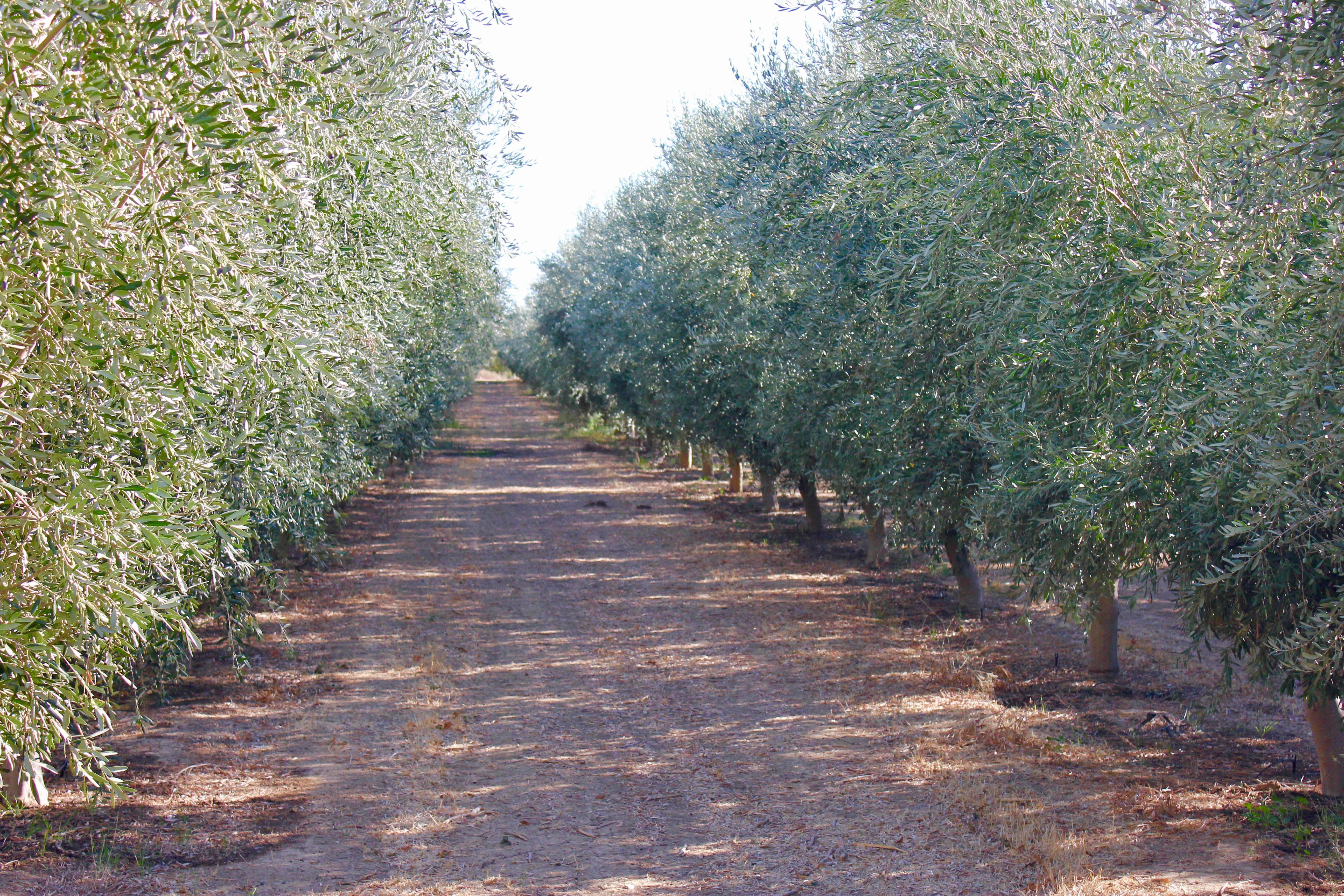 olive tree rows on left and right, with a dirt road in between, wide enough for a truck to pass.