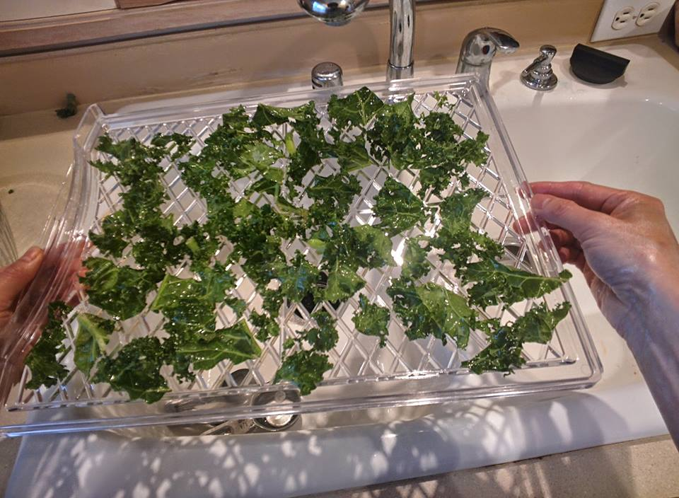 Pieces of curly kale, dried, on top of a clear plastic slotted dehydrator tray.